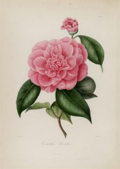 Shown is a double pale red camellia with large outer petals and smaller, erect inner. Berlèse Iconographie vol.1 pl.84, 1841.