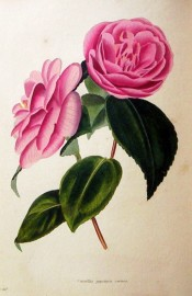 Figured is a deep rose-coloured camellia with about 6 rows of rounded petals.  Loddiges Botanical Cabinet no.455, 1820.