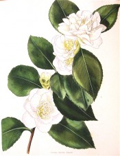 Figured is a camellia with an informal double white flower with prominent stamens.  Loddiges Botanical Cabinet no.1836, 1832.