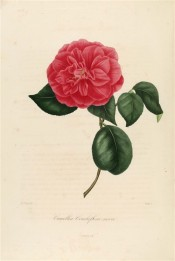 Figured is a camellia with double, cherry red flowers.  Berlèse vol.1 pl.53/1841.