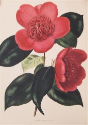 Figured is a camellia resembling anemoneflora but more open in the centre.  Loddiges Botanical Cabinet no.1475, 1830.
