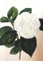 Illustrated is a pure white, double camellia the edges of the petals frilled.  Loddiges Botanical Cabinet no.1103, 1826.