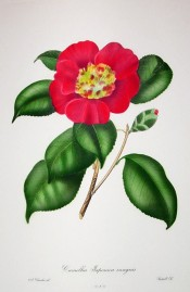 Illustrated is a camellia with cherry-red flowers, the inner petals small and jumbled.  Chandler pl.31, 1831.