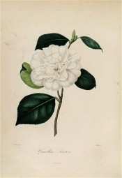 Figured is a pure white, very double camellia with a few stamens in the centre.  Berlèse Iconographie vol 1 pl.45, 1841.