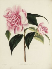 Figured is a pale rose-pink camellia with large outer petals and jumbled centre.  Loddiges Botanical Cabinet no.238, 1818.