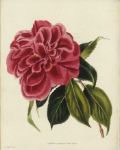 Shown is a camellia, crimson-red in colour, similar to flowers of a double Hibiscus.  Loddiges Botanical Cabinet no.397, 1819.