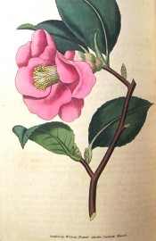 Figured is a single camellia with dark red flowers and prominent stamens.  Curtis's Botanical Magazine t.42, 1788.