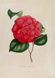 Figured is a bright red camellia with a very double flower.  Berlèse Iconographie vol.1 pl.57, 1841.