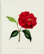 Shown is a dark orange-red, double camellia, the irregular petals notched at the apex. Berl?se Iconographie vol.II pl.126, 1841.