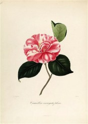 Figured is a dark rose red double camellia, petals irregularly blotched with white.  Berl?se Iconographie vol.1 pl.20, 1841.