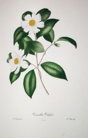 Depicted is a camellia with single white flowers, the centre filled with yellow stamens.  Chandler pl.3, 1831.