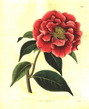 Figured is a camellia with large, semi-double, carmine rose-red flowers with central stamens.  Botanical Register f.1078, 1827.