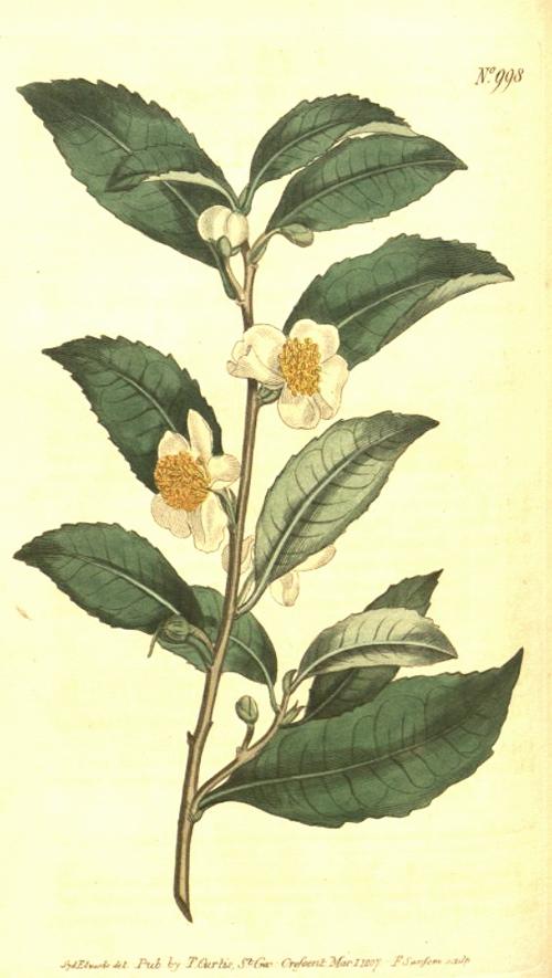 Hortus Camdenensis Camellia Sinensis L Kuntze Var Bohea