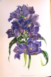 The plant illustrated has large cup-shaped, purple flowers and narrow leaves.  Paxton's Magazine of Botany p.31, 1843.