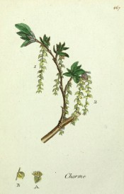 Figured is a flowering shoot with emerging leaves and pendant yellow-green catkins.  Flora Parisiensis vol.6, pl.567, 1783.