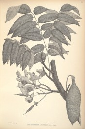 The black and white figure shows leaves, flowers and legume.  Banks and Solander pl.80/1900.