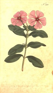 Figured are the glossy leaves and bright pink, salverform flowers.  Curtis's Botanical Magazine t.248, 1793.