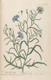 Figured are flowering shoots with pale blue flowers and small purple bracts.  Blackwell pl.270, 1837.