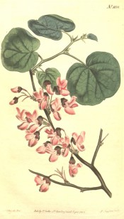 Figured are the heart-shaped leaves and bright pink pea-like flowers.  Curtis's Botanical Magazine t.1138, 1808.