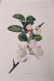 Figured are ovate leaves and single, white, pink-tinged flowers. Loddiges Botanical Cabinet no.541, 1821.
