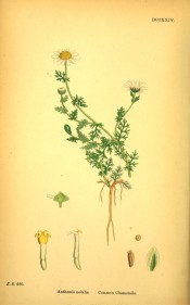 Shown are the roots, stem, feathery leaves and long-stalked daisy-like white flowers.  English Botany fig.DCCXXIV, 1863-86.