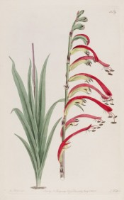 Figured are leaves and a one-sided spike of red and yellow flowers.  Botanical Register f.1159, 1829.