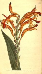 Figured are lance-shaped leaves and one-sided racemes of red or orange flowers.  Curtis's Botanical Magazine t.561, 1802.