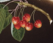 Figured is a fruiting shoot with leaves and heart-shaped red and yellow cherries. Pomona Brittanica pl.11/1812.