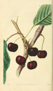 Figured is a fruiting branch with ovate leaves and round deep red cherries. Pomological Magazine t.127, 1830.