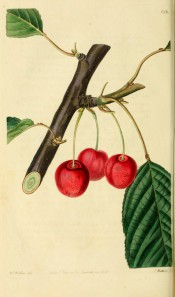 Figured is a fruiting branch with ovate leaves and round pale red cherries. Pomological Magazine t.138, 1830.