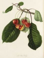Figured is a fruiting branch with ovate leaves and round yellow cherries flushed red. Pomonia Londinensis pl.7, 1818.