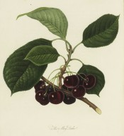 Figured is a fruiting shoot with leaves and almost black round cherries. Pomona Londinensis vol.1, pl.28/1818.