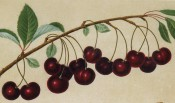 Figured is a fruiting branch with ovate leaves and numerous deep red cherries. Pomona Britannica pl.13, 1812.