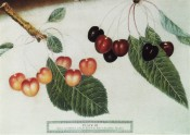 2 cherries are shown, both heart-shaped, one amber coloured the other red to almost black. Pomona Brittanica pl.7, 1812.