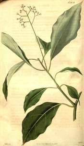 Figured are lance-shaped, glossy leaves and terminal raceme of small greenish flowers. Curtis's Botanical Magazine t.2658, 1826.