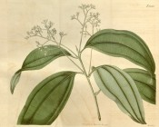 Illustrated are the glossy ovate leaves and long panicles of yellowish-white flowers.  Curtis's Botanical Magazine t.2028, 1818.