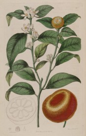 Figured is a flowering shoot with glossy leaves, immature fruit + ripe mandarin orange. Botanical Register f.211, 1817.