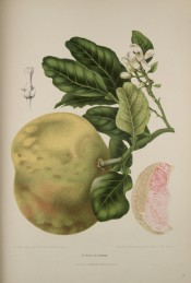 The figure shows a flowering shoot, large yellow-green fruit + a segment of red fruit. Van Nooten, 1880.