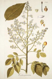 Figured are pinnate leaves, upright panicle of small white flowers and yellow fruit.  Jacquin Sch. pl.101, 1797-04.