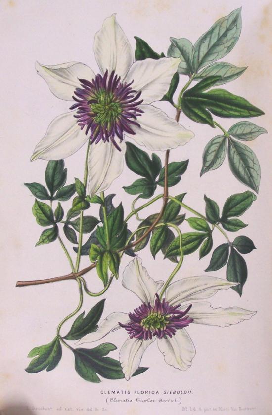 hortus camdenensis clematis florida thunb var sieboldii. Black Bedroom Furniture Sets. Home Design Ideas