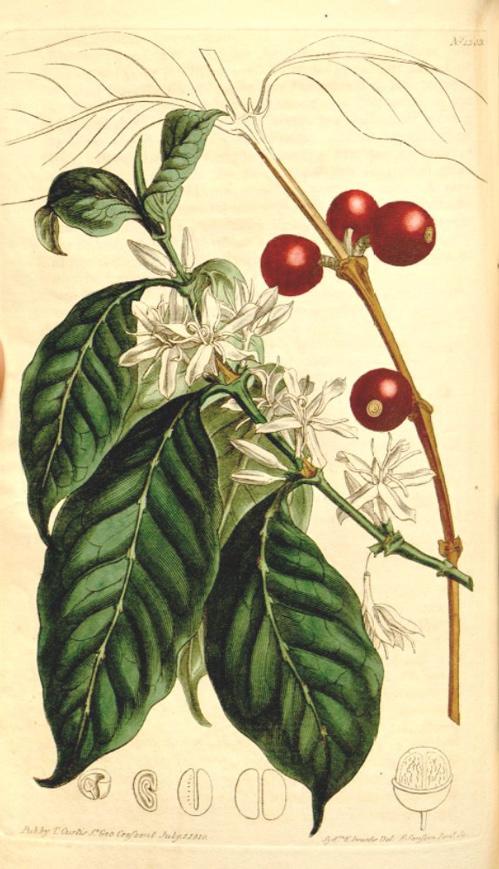 Hortus camdenensis coffea arabica l for Coffea arabica
