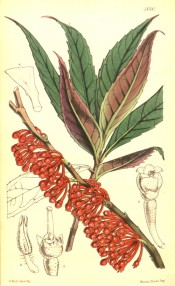 The image shows leaves and a shoot covered with globular red flowers.  Curtis's botanical Magazine t.5010, 1857.