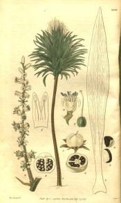 The image shows the entire tree with details of flower, fruit and leaves.  Curtis's Botanical Magazine t.2835, 1828.