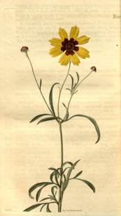Figured is a flowering stem with yellow daisy flower, reddish in the centre.  Curtis's Botanical Magazine t.2512, 1824.