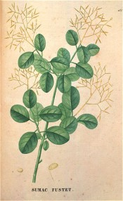 Figured are oval leaves and open, grey-green fruiting panicles.  Saint-Hilaire Tr. pl.165, 1825.