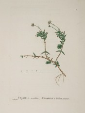 Figured is a small herb with succulent leaves and tiny yellow flowers.  Plantarum Historia succulentarum v.1 pl.2, 1799.