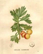 Figured are the deeply lobed leaves and yellow and red cherry-like fruits.  Saint-Hilaire pl.357, 1831.