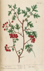 Figured is a spiny shoot with deeply cut leaves, raceme of white flowers and clusters of red berries.  Blackwell pl.149, 1737.