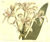 Shown are a lance-shaped leaf and flowers with white segments.  Curtis's Botanical Magazine t.1034, 1807.