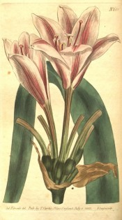 Illustrated are pink flowers, flared at the tips and with a central dark red stripe.  Curtis's Botanical Magazine t.661, 1803.